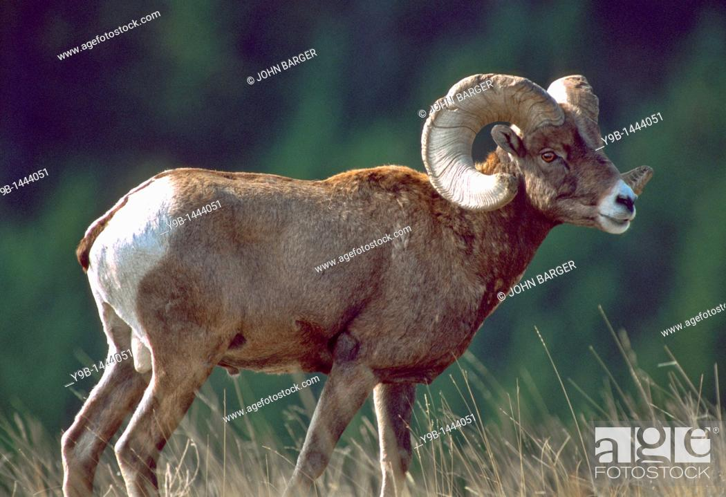 Stock Photo: BIGHORN SHEEP Ovis canadensis, ram male in autumn, National Bison Range , southwest Montana, USA.