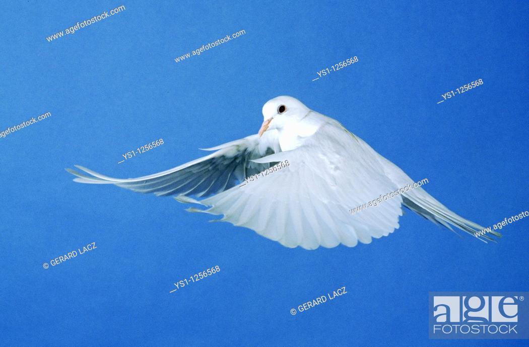 Stock Photo: WHITE DOVE FLYING.