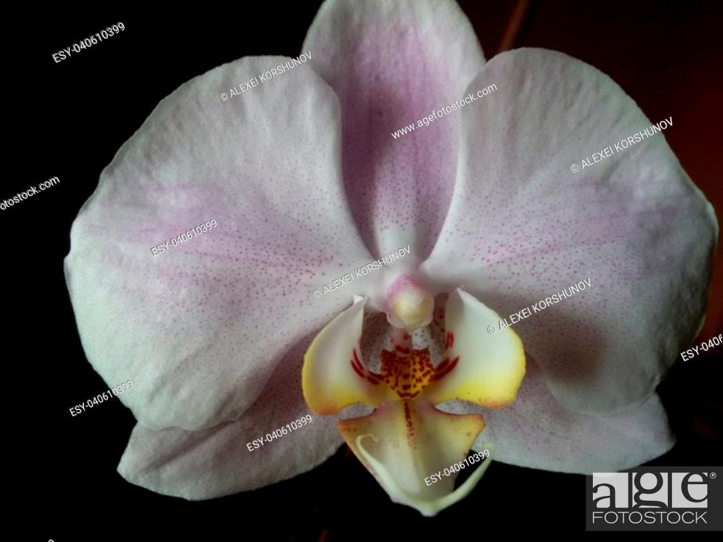 Stock Photo: Gorgeous Phalaenopsis Orchid on dark background closeup.