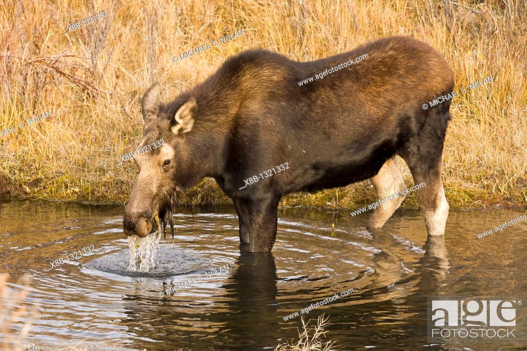 Stock Photo: Moose Alces alces shirasi near the Gros Ventre river just outside of Grand Teton National Park, Wyoming, USA  The moose is actually the largest member of the.