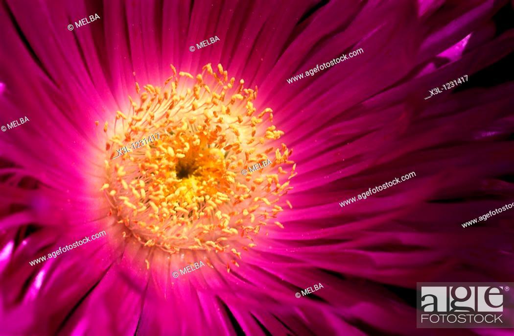 Stock Photo: Flower of Formentera Formentera The Balearic Islands Spain.