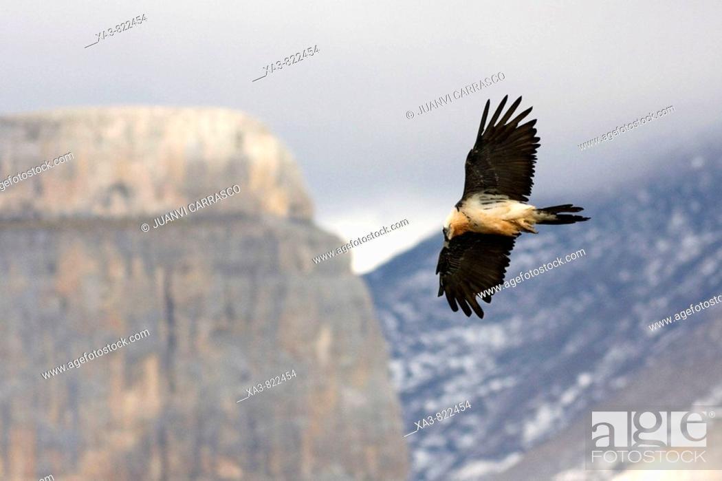 Stock Photo: Bearded vulture, Gypaetus barbatus, in flight at Ordesa national park, Spanish pyrenees.