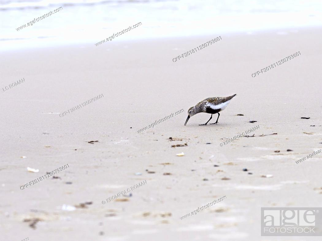 Stock Photo: Golden Plover (Pluvialis apricaria) walking on the sand of a sea beach near the border of sand and water. (CTK Photo/Roman Krompolc).