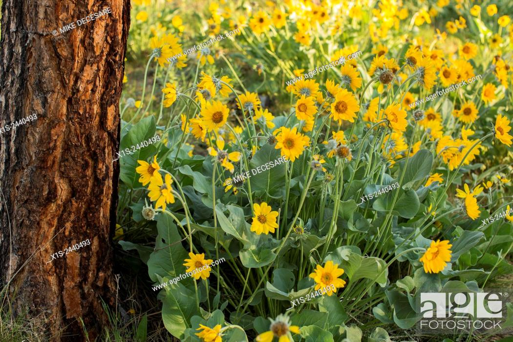 Stock Photo: Wild flowers in early morning light in western Montana.