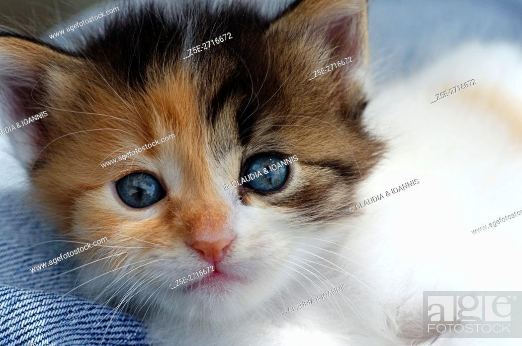 Stock Photo: Portrait of a five weeks old calico kitten.