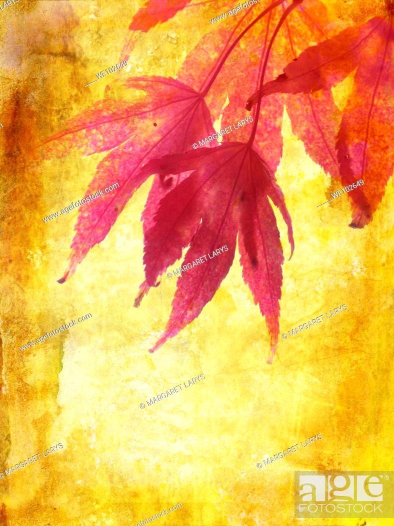 Stock Photo: Beautiful autumn, grungy background with maple leaves.