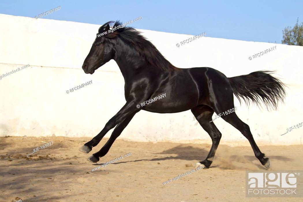 Stock Photo: Arabian horse - galloping.