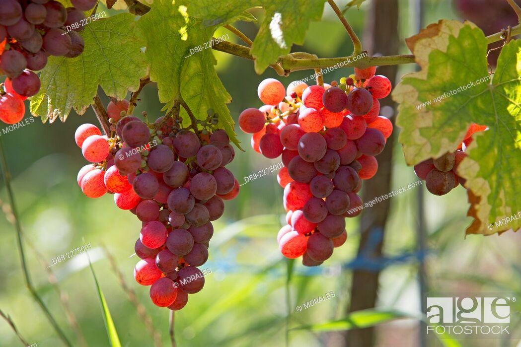 Stock Photo: France,Alsace,Bas-Rhin, Wine Route,Dambach the city,Grape,Gewurztraminer.