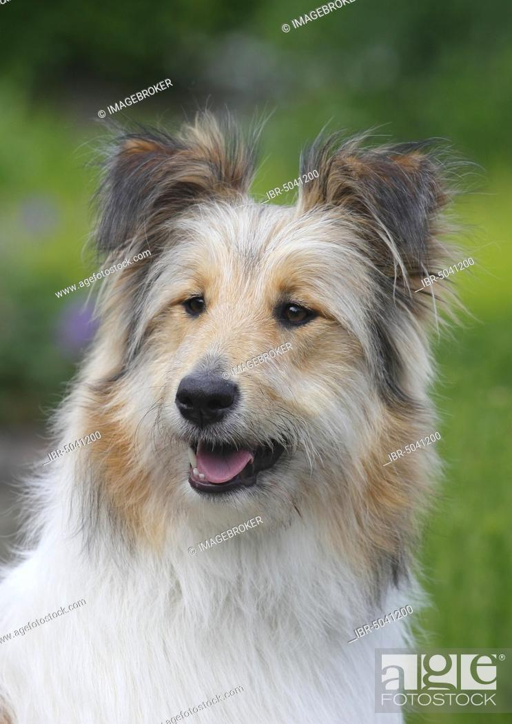 Bearded Collie Mix Fawn