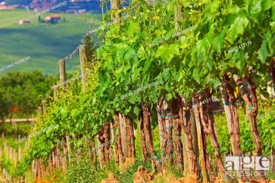 Stock Photo: Vineyards, Montalcino, Val d'Orcia, UNESCO World Heritage Site, Siena Province, Tuscany, Italy.