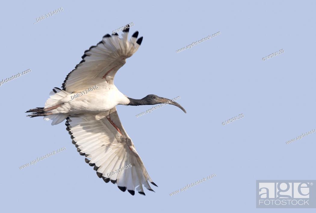 Imagen: Africa, Ethiopia, Rift Valley, Ziway lake, African sacred ibis (Threskiornis aethiopicus), in flight.