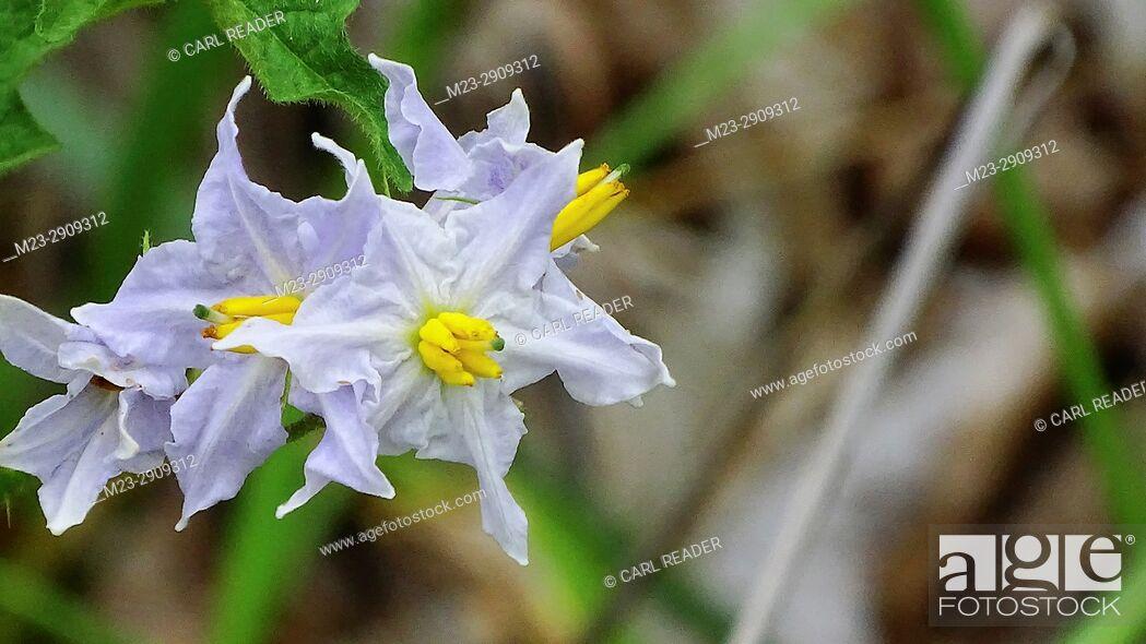 Stock Photo: Common nightshade, solanum americanum, Pennsylvania, USA.