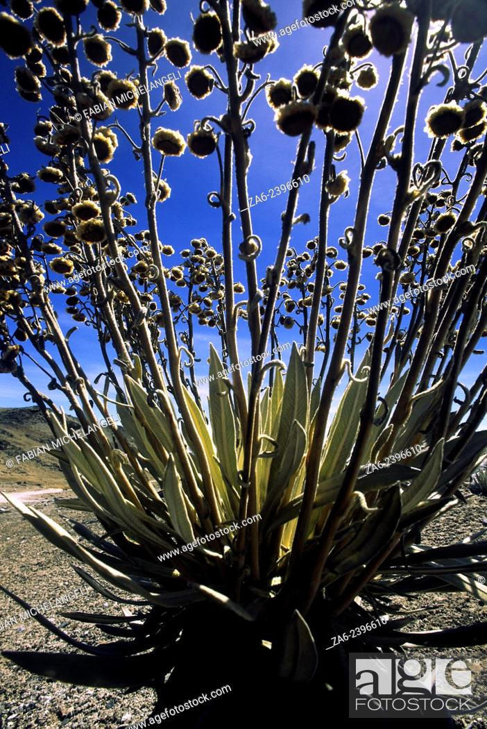 Stock Photo: Frailejon, Spelettia sp., backlit by the rising sun in the Sierra Nevada National Park in the Andes mountains of Venezuela.