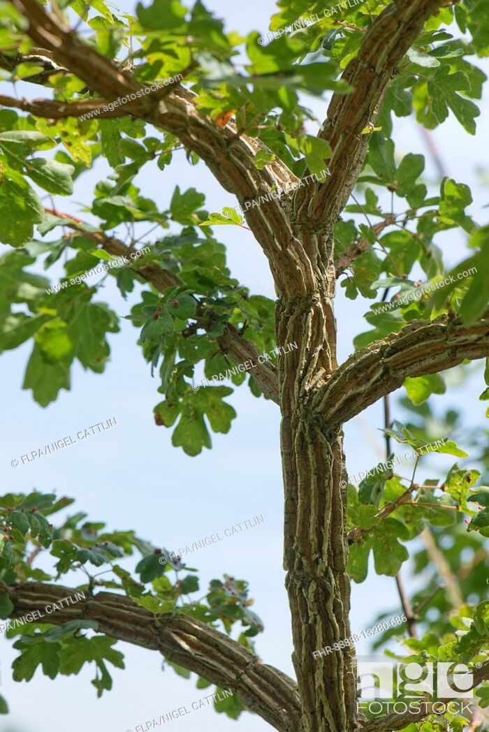 Stock Photo: Deep bark patterns on a young field maple tree, Acer campestre. Cause is not known but may be a virus similar tho wingbark in elm, Berkshire, July.
