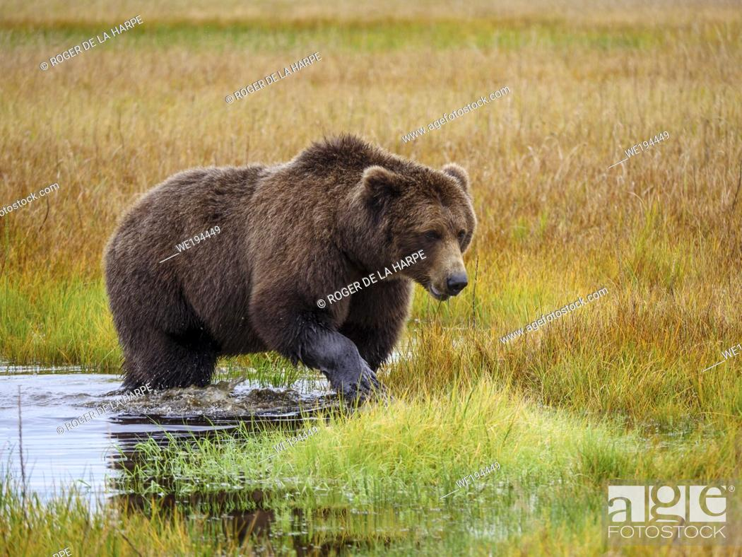 Stock Photo: Coastal brown bear, also known as Grizzly Bear (Ursus Arctos). South Central Alaska. United States of America (USA).