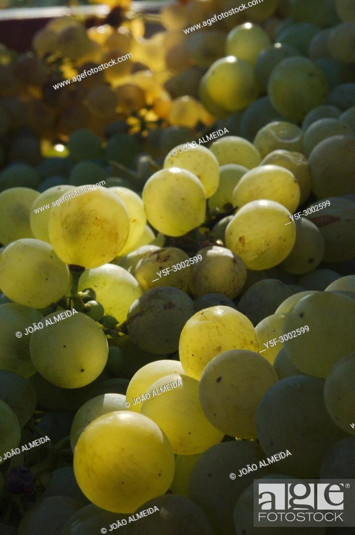 Stock Photo: The wine grapes harvest in a late summer day at central Portugal.
