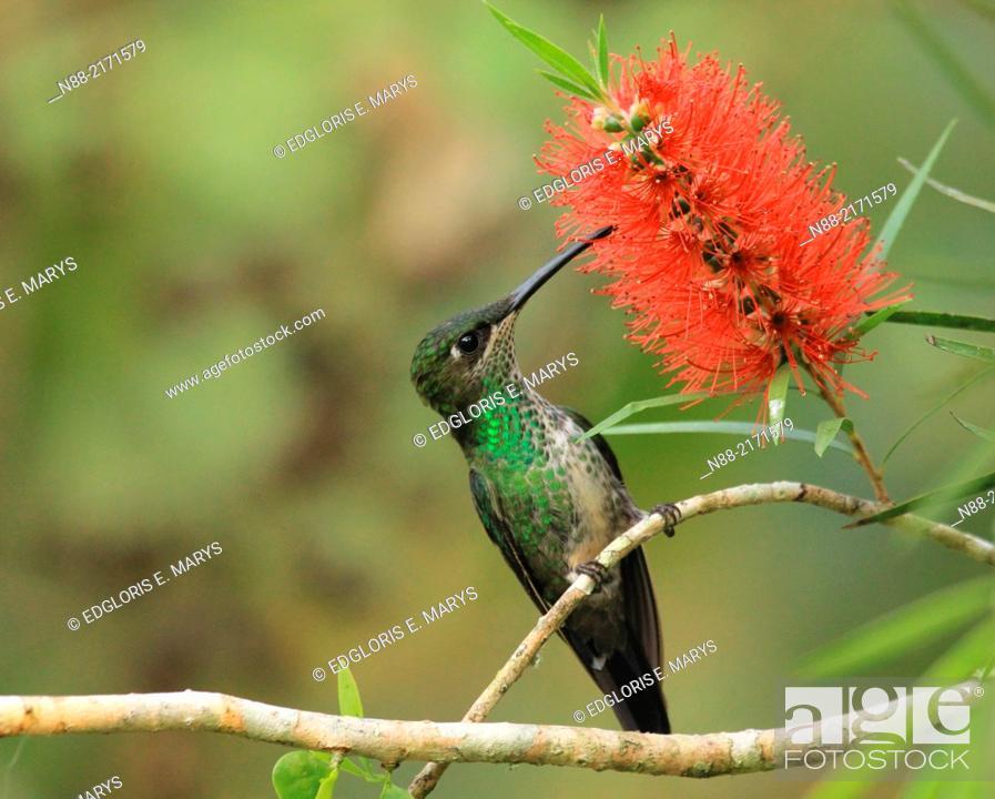 Stock Photo: Violet chested hummingbird feeding on Callistemun citrinus red flower Venezuela.