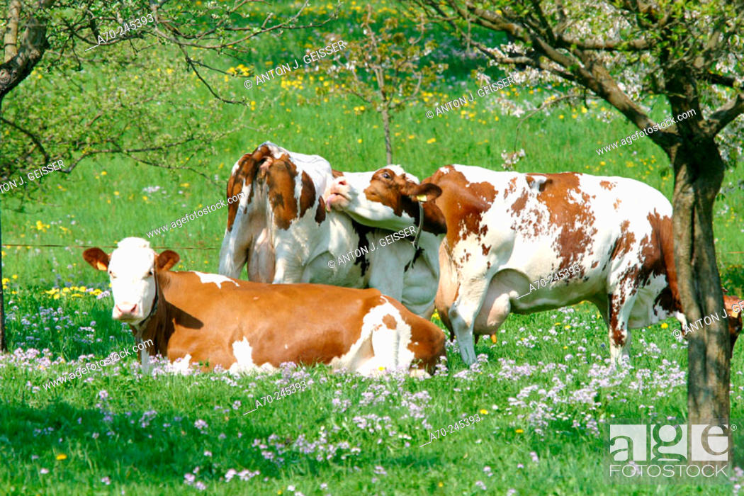 Stock Photo: Cows.