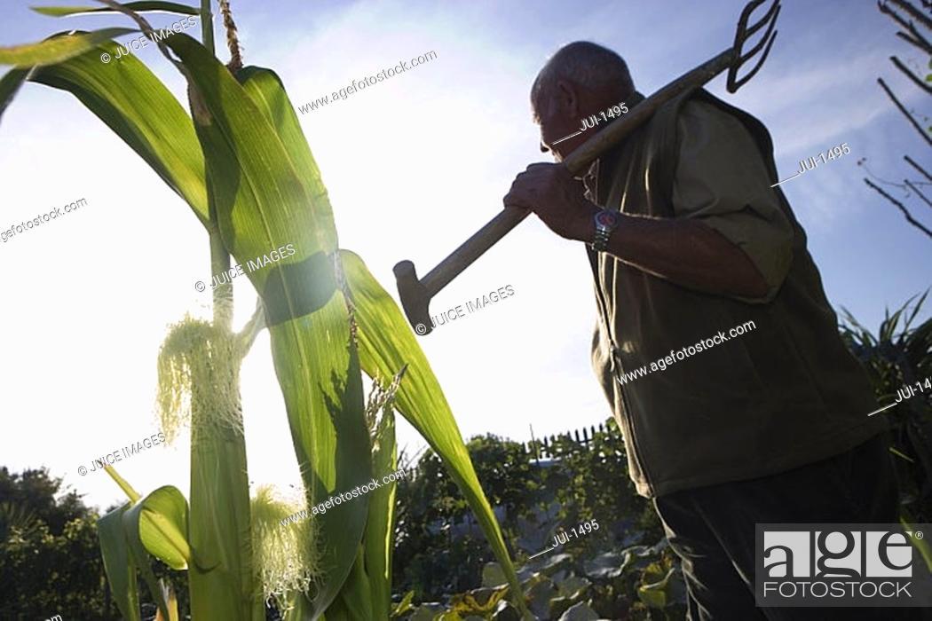 Stock Photo: Senior man carrying gardening fork on shoulder in vegetable garden, side view, low angle view tilt.