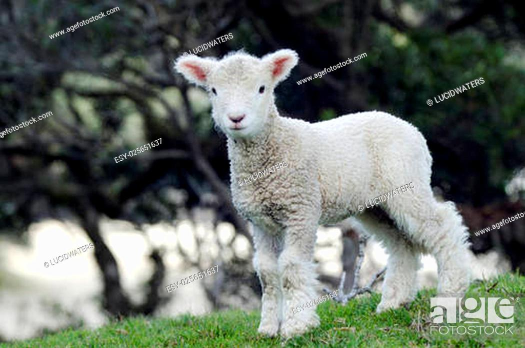 Stock Photo: Perendale Sheep lamb.It's a breed of sheep developed in New Zealand by Massey Agricultural College (now Massey University) for use in steep hill situations.