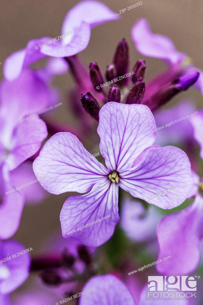 Imagen: Lunaria annua common name Honesty in bloom.