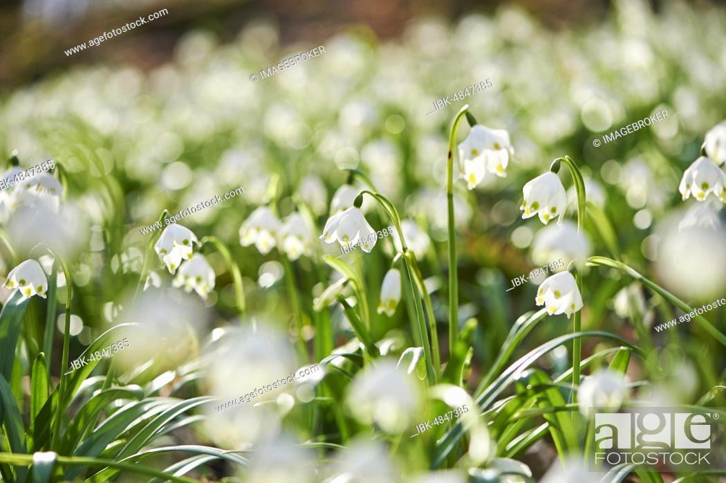 Stock Photo: Spring snowflakes (Leucojum vernum) flowering, Bavaria, Germany, Europe.