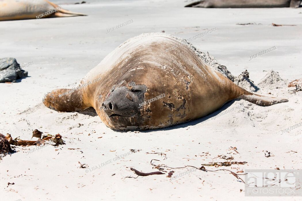 Imagen: Elephant Seal (Mirounga leonina) adult moulting and resting on a beach, Falkland Islands, Sea Lion Island.