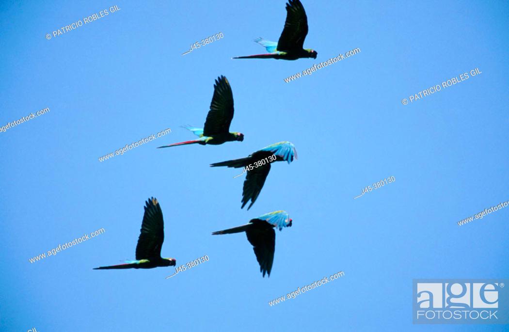 Stock Photo: Military macaws (Ara militaris). Tamaulipas. Mexico.