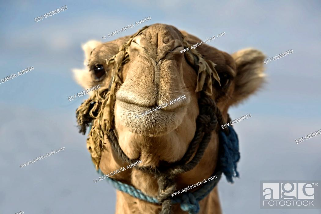 Stock Photo: a camel head from the from with the heaven at bottom.