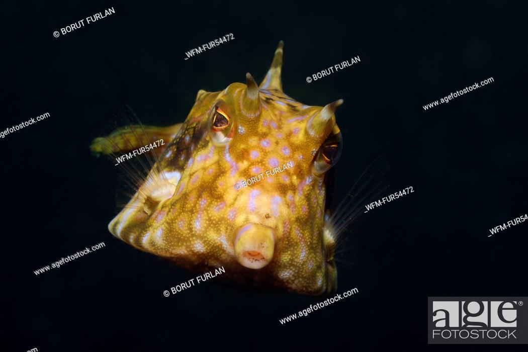 Stock Photo: Longhorn Boxfish, Lactoria cornuta, Lembeh Strait, Sulawesi, Indonesia.