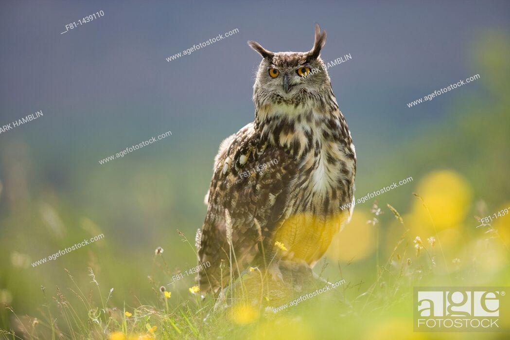 Stock Photo: European eagle owl Bubo bubo perched on rock in flower meadow captive, Scotland, July 2007.