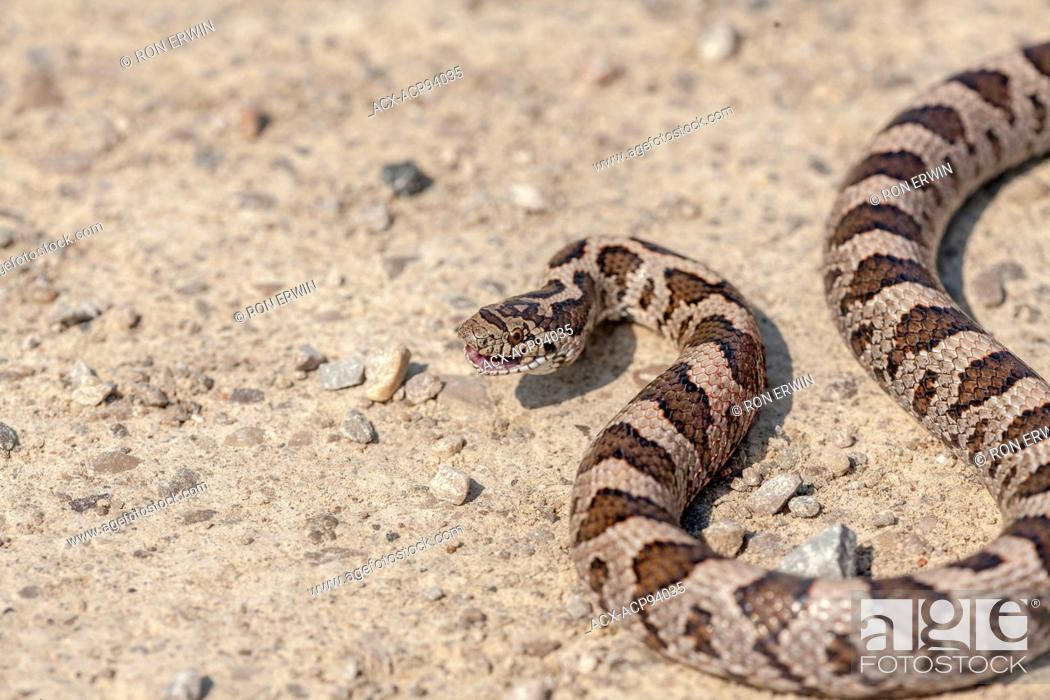 Stock Photo: Milksnake (Lampropeltis triangulum), Manitoulin Island, Ontario.