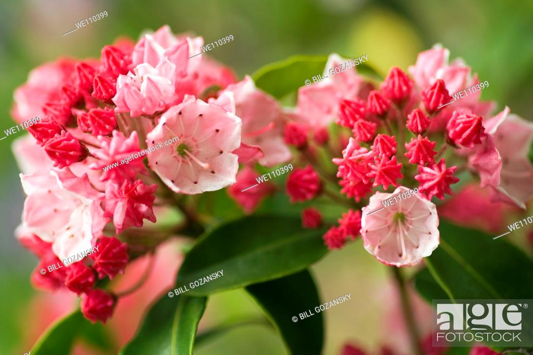 Stock Photo: Carol Mountain Laurel - North Carolina Arboretum - Asheville, North Carolina, USA.