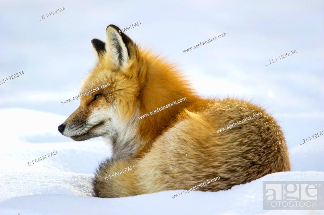 Stock Photo: Adult red fox Vulpes vulpes Curls up and goes to sleep after hunting by the roadside at Yellowstone National Park. Mammoth Hot Springs, Wyoming, USA.