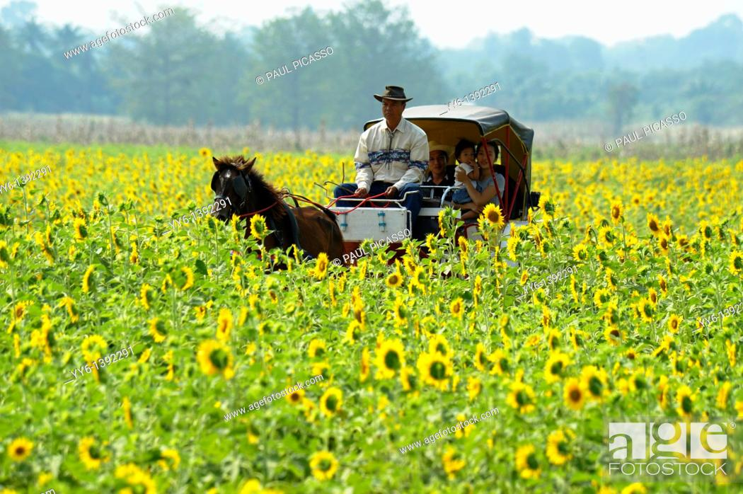 Stock Photo: horse carriage ride through sunflower fields, sunflower fields of lopburi and saraburi, central Thailand.