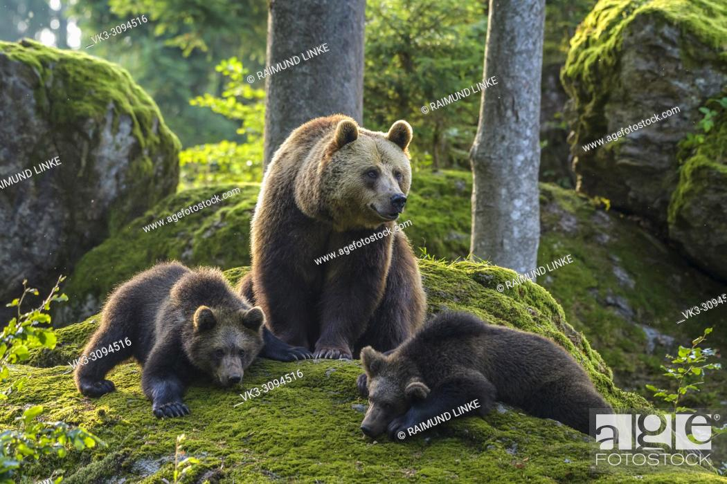 Photo de stock: European Brown Bears, Ursus arctos, Female with cubs, Bavaria, Germany.