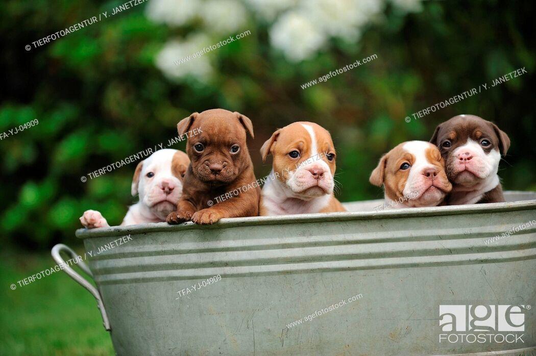 Imagen: Renascence Bulldog Puppies.