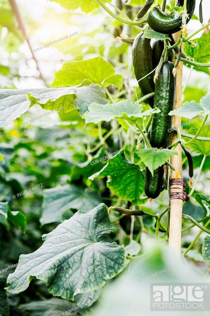 Imagen: Cucumber plant.