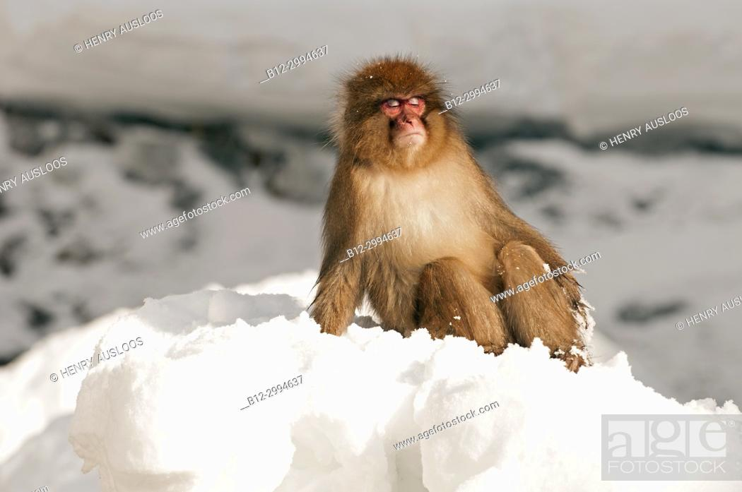 Stock Photo: Japanese macaque or snow japanese monkey (Macaca fuscata) sunbath, Japan.