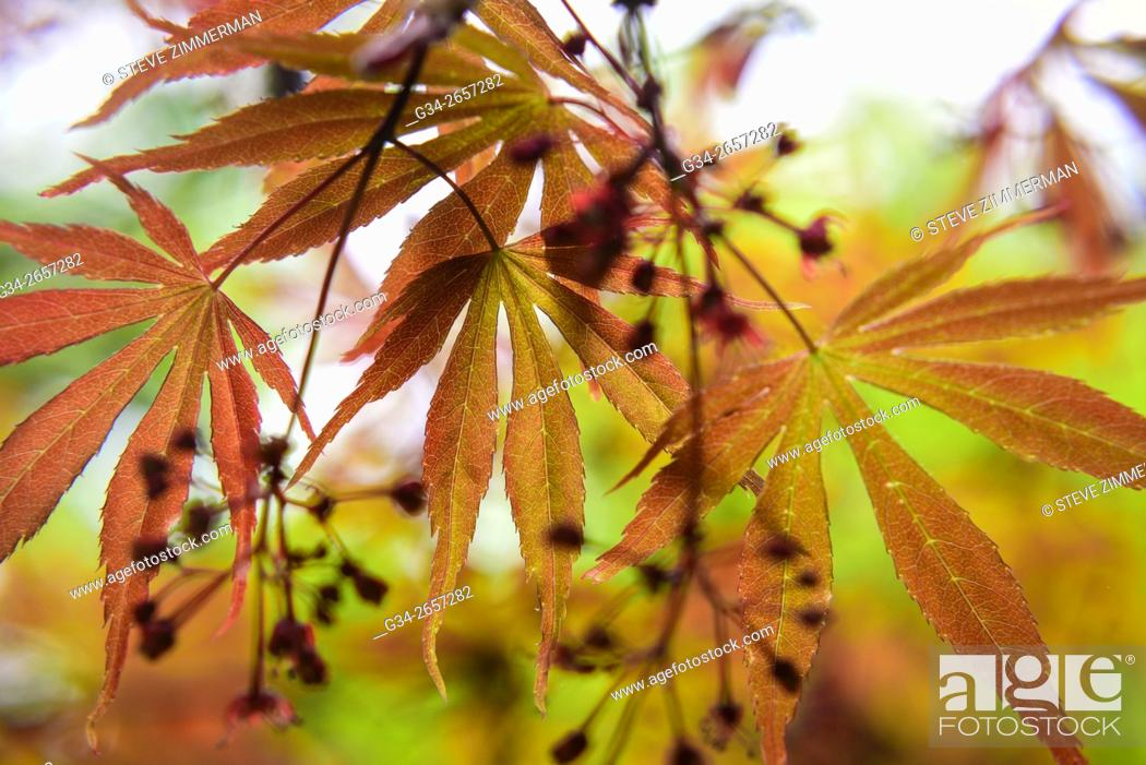 Stock Photo: Maple Cluster.