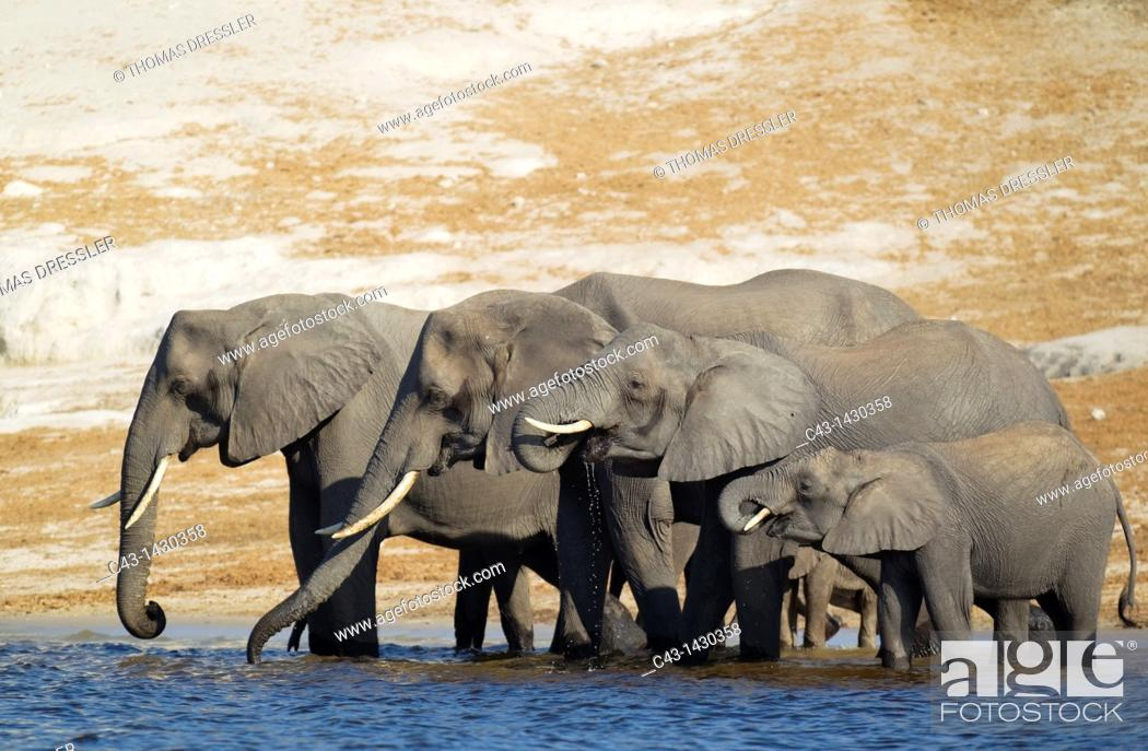 Stock Photo: African Elephant Loxodonta africana - Breeding herd drinking at the bank of the Chobe River  Photographed from a boat  Chobe National Park, Botswana.