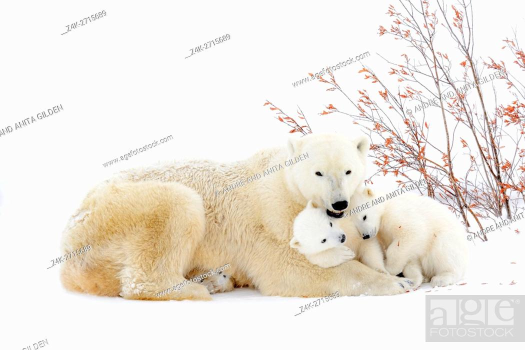 Stock Photo: Polar bear mother (Ursus maritimus) lying down on tundra, with two new born cubs playing, Wapusk National Park, Manitoba, Canada.