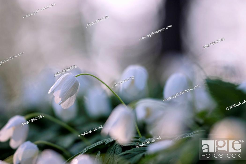 Stock Photo: Wood anemone in the forest, Anemone nemorosa, close-up.