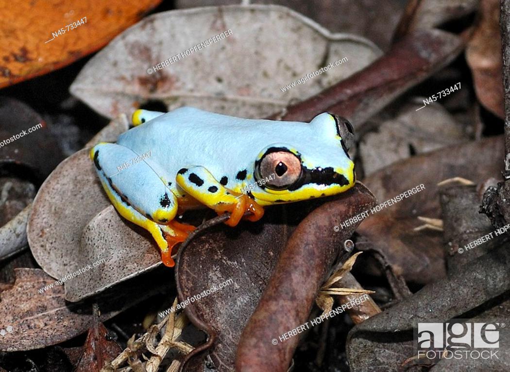Stock Photo: Blue Back Frog (Heterixalus madagascariensis).
