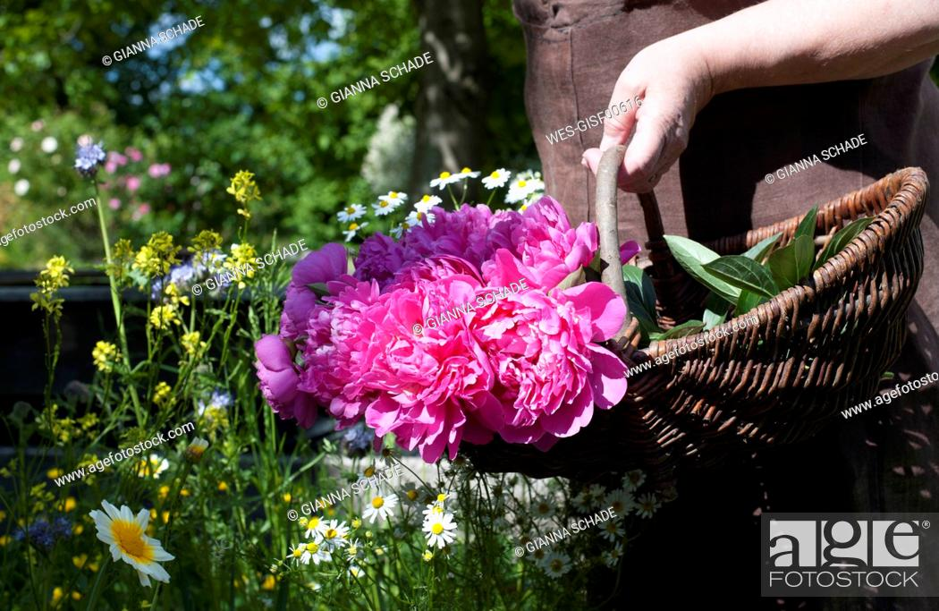 Imagen: Hand of senior woman carrying basket with pink blooming roses.