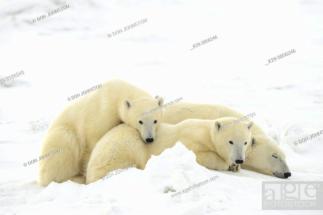 Stock Photo: Polar Bear (Ursus maritimus) Mother and yearling cubs resting along the Hudson Bay coast, Wapusk NP, Cape Churchill, Manitoba, Canada.