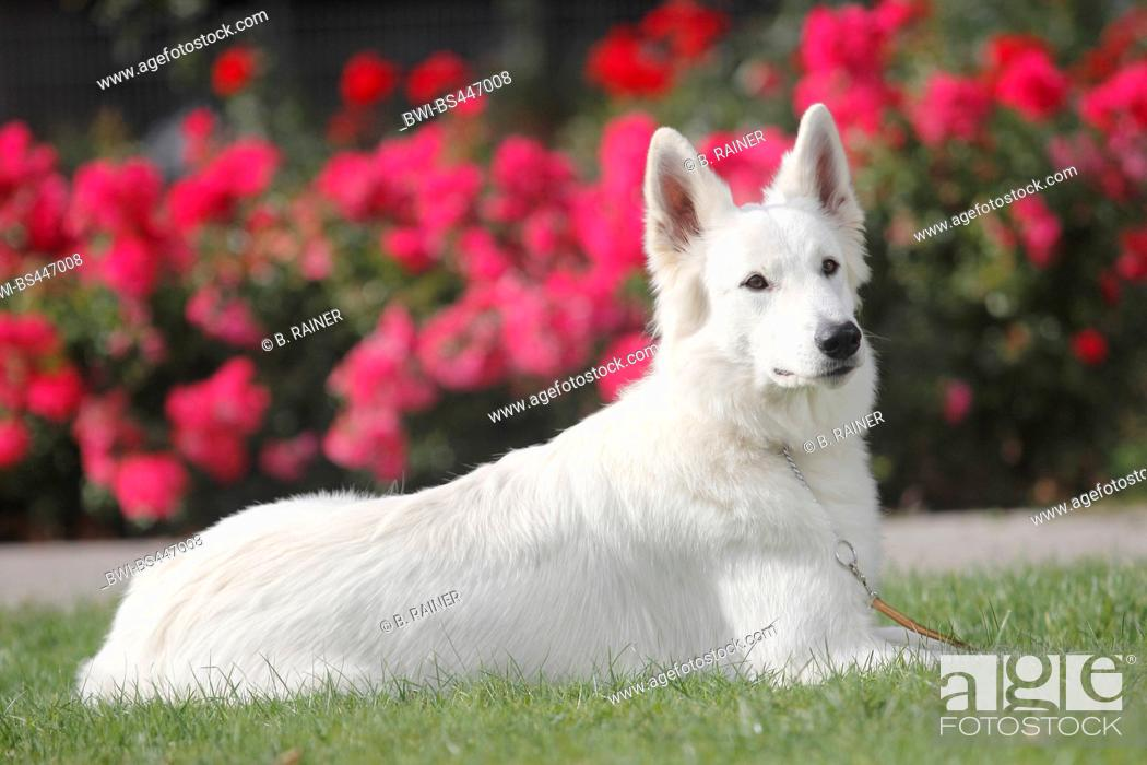 Stock Photo: Berger Blanc Suisse (Canis lupus f. familiaris), seventeen months old she dog lying in a meadow in front of a rose bed, side view, Germany.
