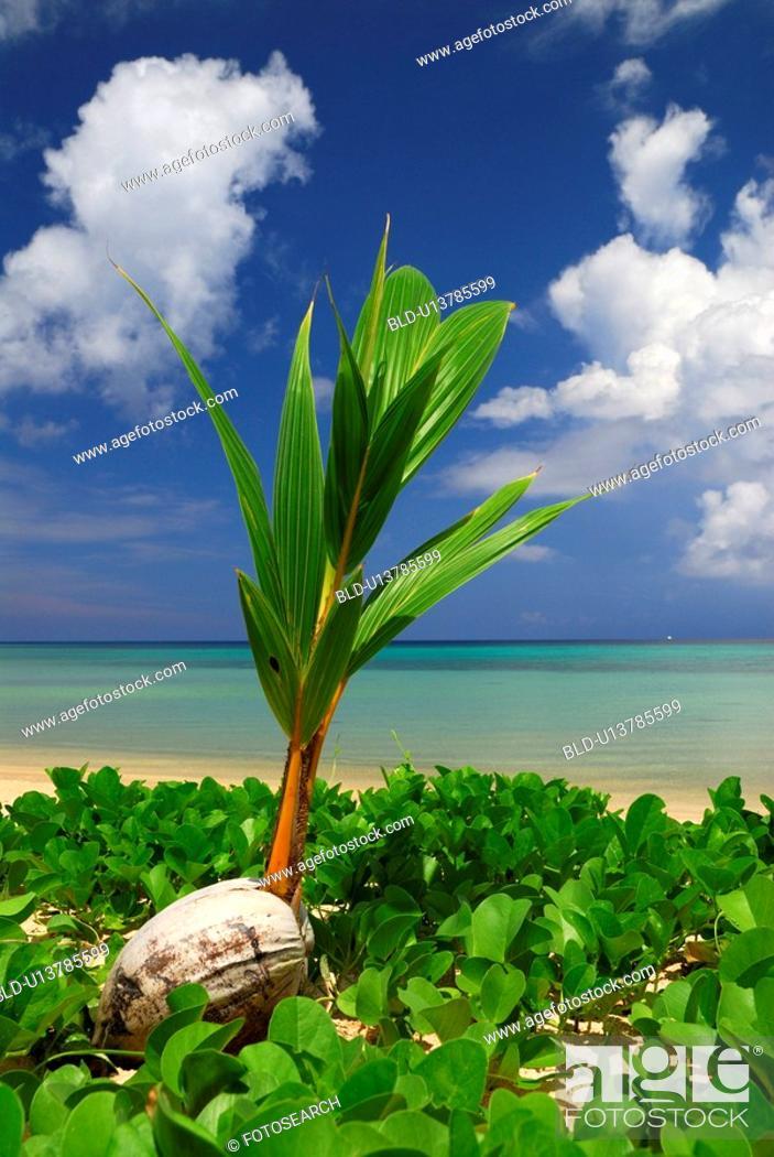 Stock Photo: Coconut and sea.