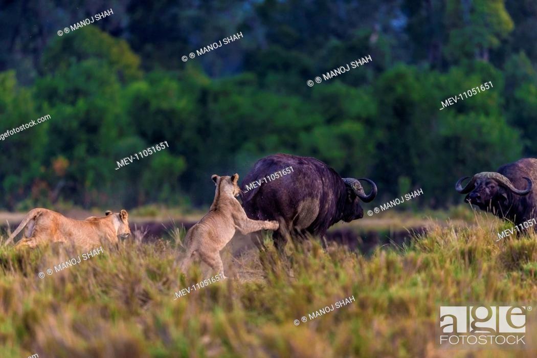 African Lion hunting Cape Buffalo (Syncerus caffer) Masai