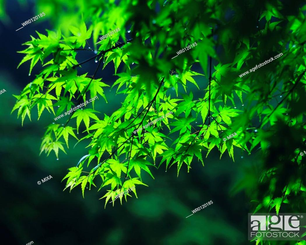 Stock Photo: Close up of green leaves on a tree.